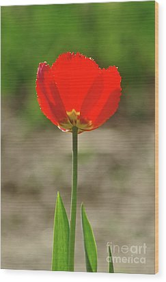 Wood Print featuring the photograph Beauty In Red by Dariusz Gudowicz