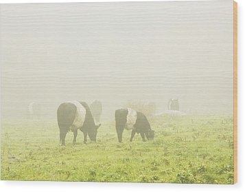 Belted Galloway Cows Grazing On Foggy Farm Field Maine Wood Print by Keith Webber Jr