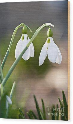 Blooming Snowdrops Wood Print by Elena Elisseeva