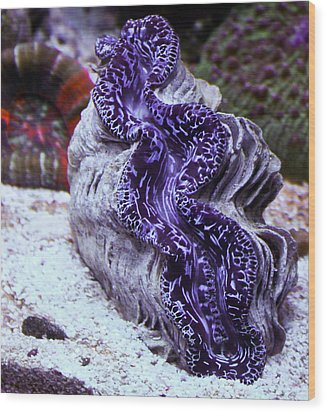 Blue Metallic Maxima Clam Wood Print by Erik Hovind