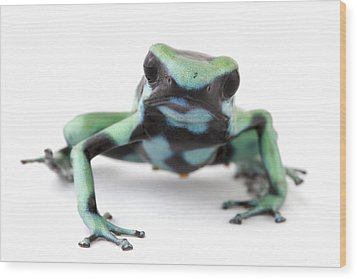 Blue Poison Dart Frog Barbilla Np Costa Wood Print by Piotr Naskrecki