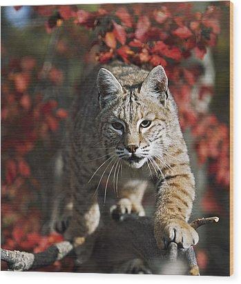 Bobcat Felis Rufus Walks Along Branch Wood Print by David Ponton