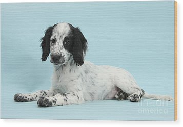Border Collie X Cocker Spaniel Puppy Wood Print by Mark Taylor
