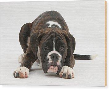 Boxer Pup Wood Print by Mark Taylor