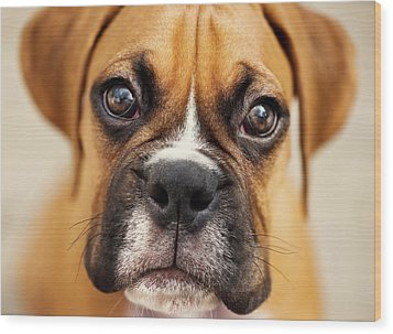 Boxer Puppy Wood Print by Jody Trappe Photography