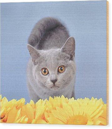 British Shorthair Kitten Wood Print by Waldek Dabrowski