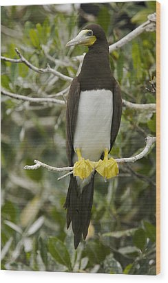 Brown Booby, Sula Leucogaster Wood Print by Tim Laman