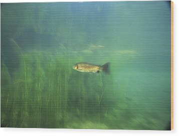Brown Trout Wood Print by Alexis Rosenfeld