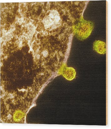 Budding Human Metapneumovirus Particles Wood Print by Hazel Appleton, Centre For Infectionshealth Protection Agency