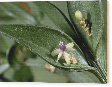 Butcher's Broom (ruscus Aculeatus) Wood Print by Bob Gibbons