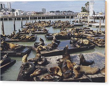 California Sea Lions Wood Print by Alan Sirulnikoff