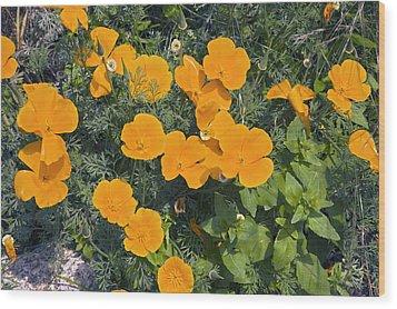 Californian Poppy (eschscholzia Sp.) Wood Print by Dr Keith Wheeler