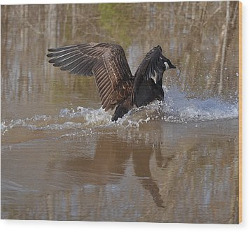 Canada Goose Landing C0255a Wood Print by Paul Lyndon Phillips