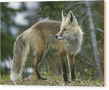 Cascade Red Fox Wood Print by Bob Gibbons