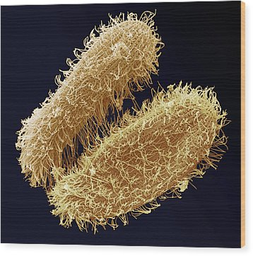 Ciliate Protozoa, Sem Wood Print by Steve Gschmeissner