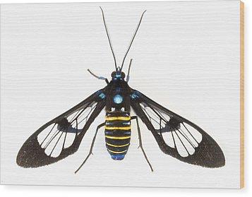 Clearwinged Tiger Moth Tapanti Np Costa Wood Print by Piotr Naskrecki