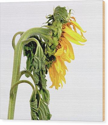 Close Up Of Sunflower. Wood Print by Bernard Jaubert