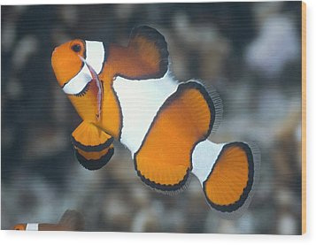 Clown Anemonefish Wood Print by Georgette Douwma
