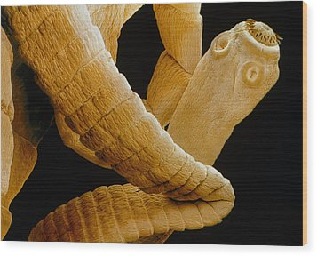 Coloured Sem Of A Tapeworm, Taenia Sp. Wood Print by Power And Syred