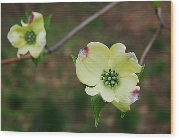 Dogwood Flowers Wood Print