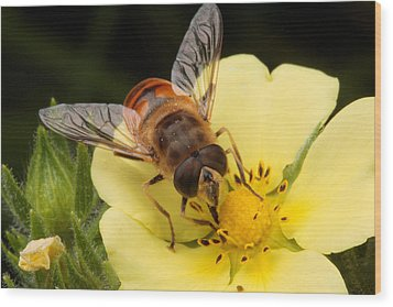 Drone Fly, Earistalis Wood Print by George Grall