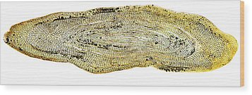 Eel Scale, Light Micrograph Wood Print by Dr Keith Wheeler
