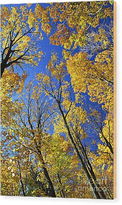 Fall Maple Trees Wood Print by Elena Elisseeva