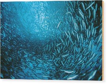 Farmed Sea Bass Wood Print by Alexis Rosenfeld