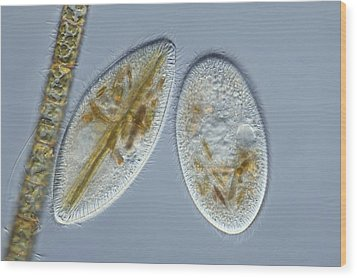 Frontonia Protozoa, Light Micrograph Wood Print by Frank Fox