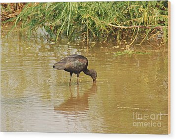 Glossy Ibis  Wood Print by Kathy Gibbons