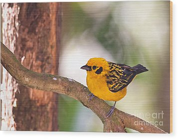 Golden Tanager Wood Print