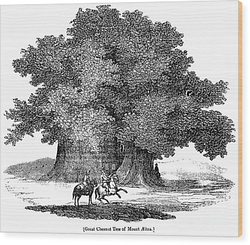 Great Chestnut Tree Wood Print by Granger
