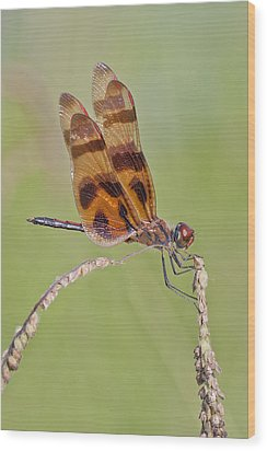 Halloween Pennant Dragonfly At Lacassine Wood Print by Bonnie Barry