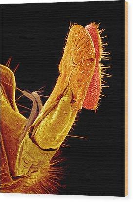 Hover Fly Proboscis, Sem Wood Print by Susumu Nishinaga