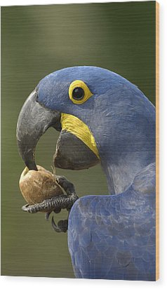 Hyacinth Macaw Anodorhynchus Wood Print by Pete Oxford