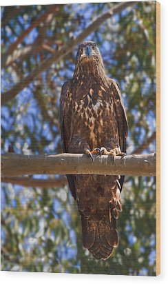 Immature Bald Eagle Wood Print by Beth Sargent