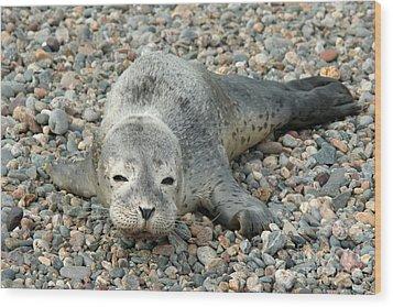 Injured Harbor Seal Wood Print by Ted Kinsman