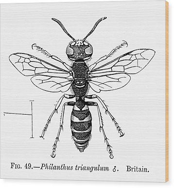 Insects: Wasps Wood Print by Granger