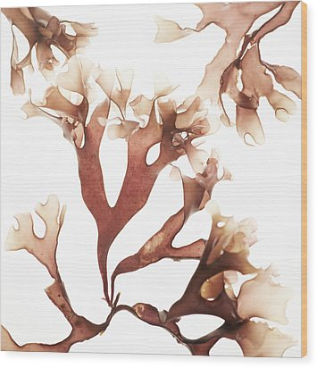 Irish Moss Seaweed Wood Print by Cristina Pedrazzini