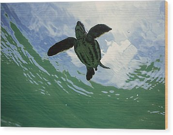 Leatherback Sea Turtle Dermochelys Wood Print by Mike Parry