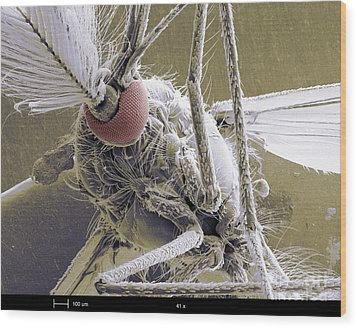 Male Mosquito Wood Print by Ted Kinsman