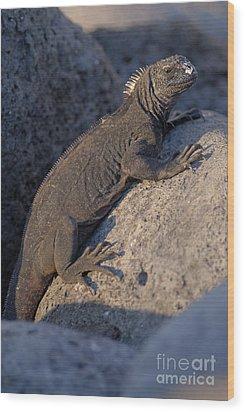 Marine Iguana On Rock Wood Print by Sami Sarkis