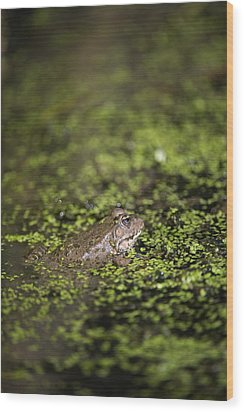 Marsh Frog Wood Print by Louise Murray