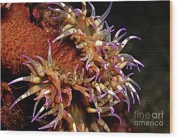 Mexican Anemone Wood Print by Sami Sarkis