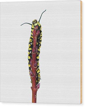 Monarch Caterpillar Wood Print by Jim McKinley