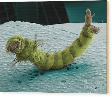 Mosquito Larva, Sem Wood Print by Ted Kinsman