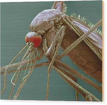 Mosquito, Sem Wood Print by Steve Gschmeissner