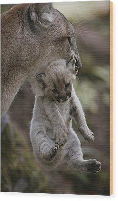Mother Mountain Lion, Felis Concolor Wood Print by Jim And Jamie Dutcher