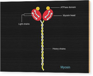 Myosin Structure, Artwork Wood Print by Francis Leroy, Biocosmos