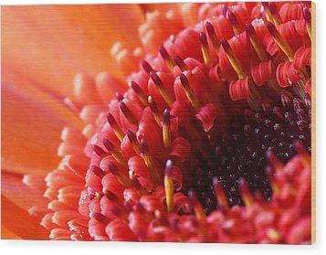 Orange Gerbera Close Up Wood Print by Fiona Messenger